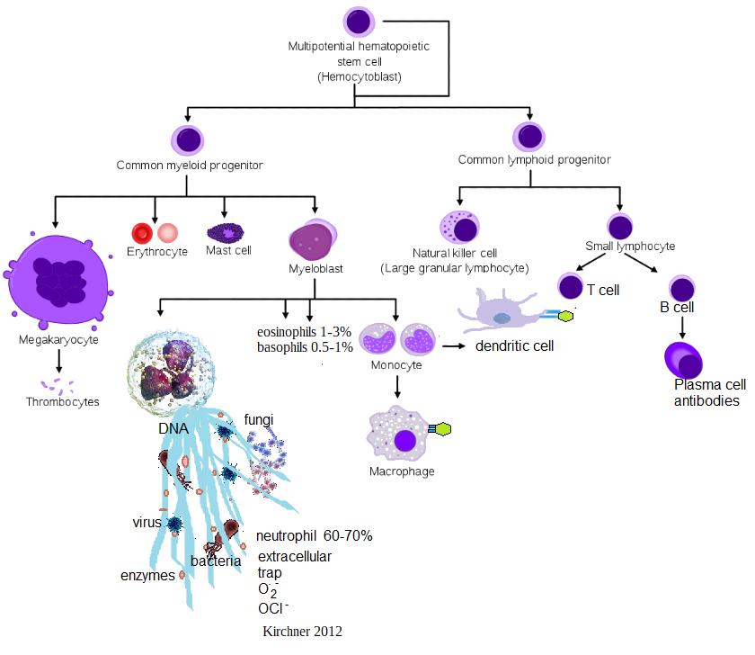 The innate immune system produces the neutrophil extracellular net produces reactive oxygen species The adaptive arm of the immune system produces antibodies.